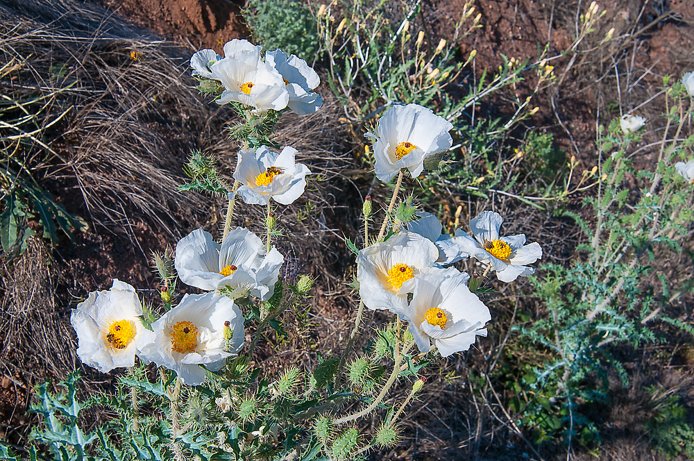 This tall and incredibly spiky member of the poppy family found only in Arizona and New Mexico. These were found growing along the side of a highway near Sells, Arizona.