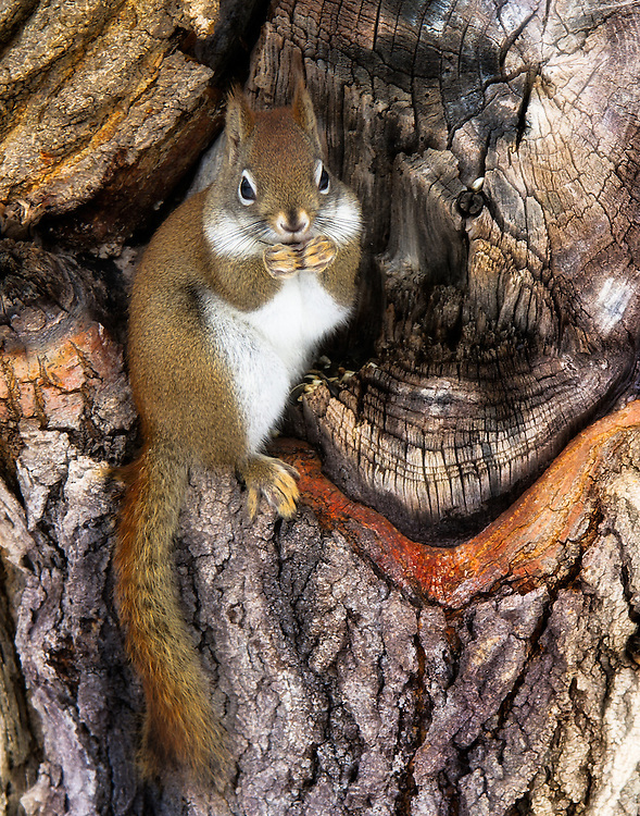 """The Red Squirrel is found in both coniferous forest and temperate broadleaf woodlands. It is a solitary animal and is shy and reluctant to share food with others. It eats mostly the seeds of trees, fungi, nuts (especially hazelnuts but also beech and chestnuts), berries, and young shoots.<br /> <br /> Available sizes:<br /> 18"""" x 12"""" print or canvas print<br /> <br /> See Pricing page for more information. Please contact me for custom sizes and print options including canvas wraps, metal prints, assorted paper options, etc. <br /> <br /> I enjoy working with buyers to help them with all their home and commercial wall art needs."""
