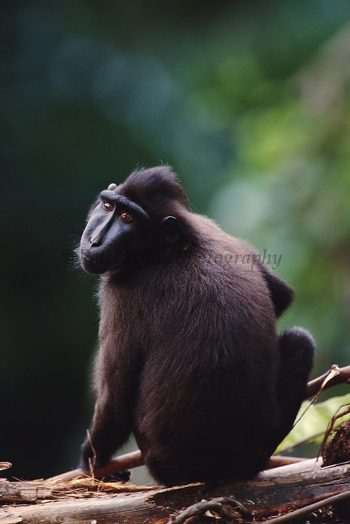 Celebes (Sulawesi) Macaque<br />Macaca nigra<br />Forests of SULAWESI
