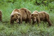 Alaskan brown bear with second year cub on green hillside, looking down, McNeil River State Game Sanctuary, Alaska, © David A. Ponton