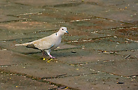 Eurasian Collared Dove, Streptopelia decaocto, in Holguín, Cuba