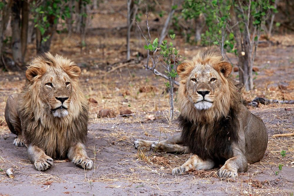 Africa, Botswana, Savute. Pair of male lions in Savute, Chobe National Park.