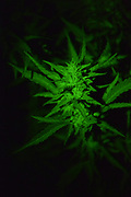 First legal recreational Cannabis Harvest in California. Photo© SuziAltman