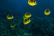 First Cathedrals, Lanai Hawaii, Racoon Butterflyfish