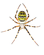 Argiope Spider - Argiope bruennichii - female. Once rare and confined to a few places on the south coast, this species is now common in southern Britain. It inhabits long grass with perennial herbs and scrub in all sorts of habitats.