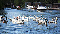 AMSTERDAM - Boten varen en ganzen zwemmen  in Amsterdam.  ANP COPYRIGHT KOEN SUYK