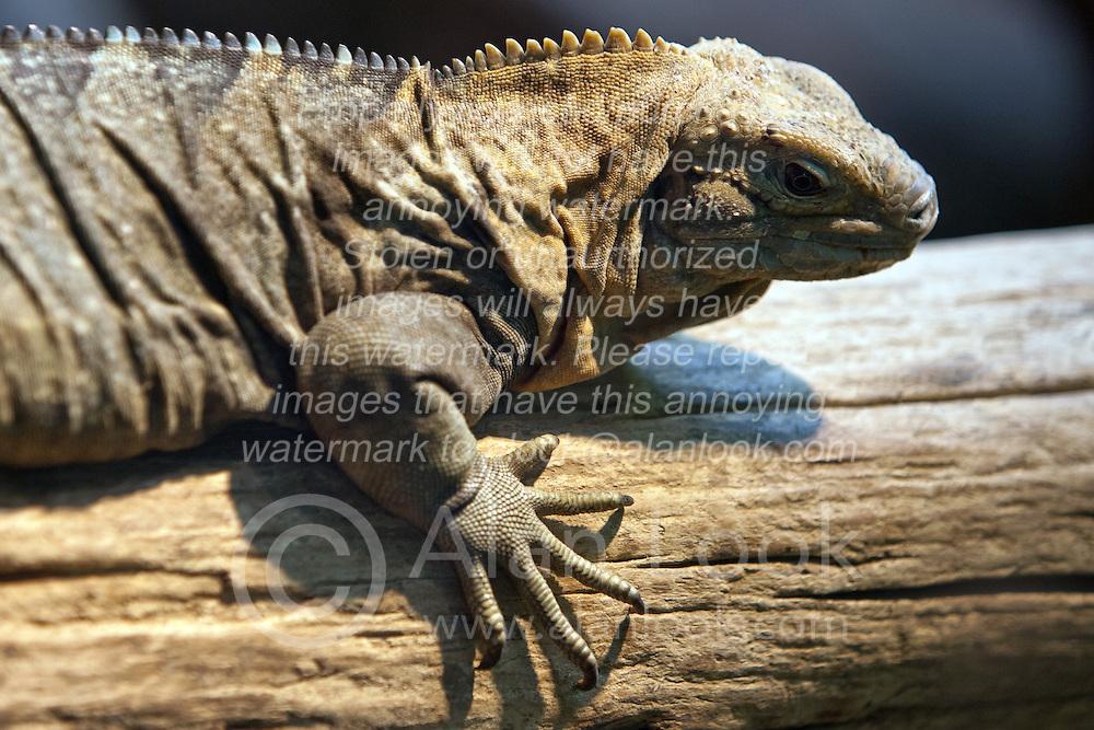 19 October 2010: Jamaican Iguana. St. Louis Zoo, St. Louis Missouri (Photo by Alan Look)