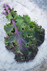 Kale 'Red Scarlet' - Brassica oleracea - showing pink veins