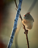 Female Northern Cardinal. Image taken with a Nikon D5 camera and 600 mm f/4 lens (ISO 1600, 600 mm, f/4, 1/800 sec).