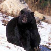 Black Bear, (Ursus americanus) Adult in Rocky mountains. Montana. Captive Animal.