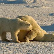 Polar Bear (Ursus maritimus)  Mother with cub. Mother sliding body over snow. November. Winter. Along the Hudson Bay near Churchill, Manitoba. Canada.