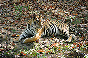 Female Bengal Tiger, Panthera tigris tigris, India, laying in forest, Endangered, IUCN Red Data List,