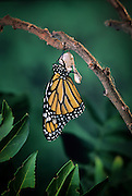 Emerging monarch butterfly (Danaus Plexippus). The butterly has just pushed itself out of the chrysalis casing. Fluid is being pumped from its abdomen into the wings. (10 0f 11).