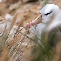 A black-browed albatross as seen through grass in a colony on New Island, Falkland Islands.