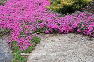 65021-034.10 Moss Phlox (Phlox subulata) in garden,  MO