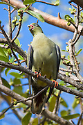 Green Pigeon, South Africa