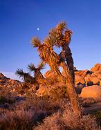 CADJT_113 - USA, California, Joshua Tree National Park, Joshua tree, moon and monzonite granite boulders, early morning near Jumbo Rocks.