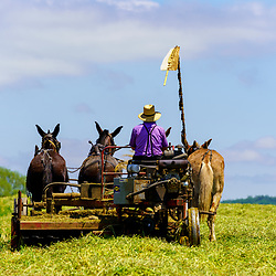 Gordonville, PA, USA / May 25, 2020: An Amish farmer uses a team of mules to cut hay in a Lancaster County field on a summer day.