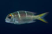 Humpnose big-eye bream (Monotaxis grandoculis) swimming in Bali Sea, Indonesia