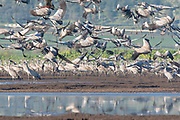 Common Crane (Grus grus) a flock in wetland, hula valley, israel. Large migratory crane species that lives in wet meadows and marshland. It has a wingspan of between 2 and 2.5 metres. It spends the summer in northeastern Europe and western Asia, and overwinters in north Africa. It feeds on vegetation, insects, frogs and snakes. Photographed in the Hula Valley, Israel, in March