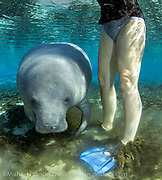 A Florida Manatee, Trichechus manatus, shelters in the clear 72F freshwater of a north Florida spring during wintertime. Despite their appearance, this endangered animal has relatively a small amount of fat and insulation and is very sensitive to cold weather and water, which can be fatal if temperatures remain below 68F for an extended period of time. Notice the animal's tail, lacerated by a boat strike, one of the leading causes of death for the species.