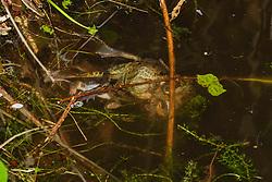 bruine kikker, Rana temporaria
