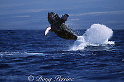 humpback whale, Megaptera novaeangliae, breaching, Hawaii Island, #5 in sequence of 6; caption must include notice that photo was taken under NMFS research permit #587