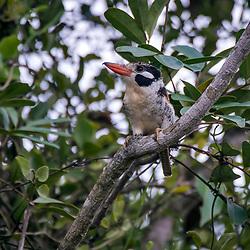 João-bobo (Nystalus chacuru) fotografado em Goiás - Centro-Oeste do Brasil. Bioma Cerrado. Registro feito em 2015.<br /> ⠀<br /> ⠀<br /> <br /> <br /> <br /> <br /> <br /> ENGLISH: White-eared Puffbird photographed in Goias - Midwest of Brazil. Cerrado Biome. Picture made in 2015.