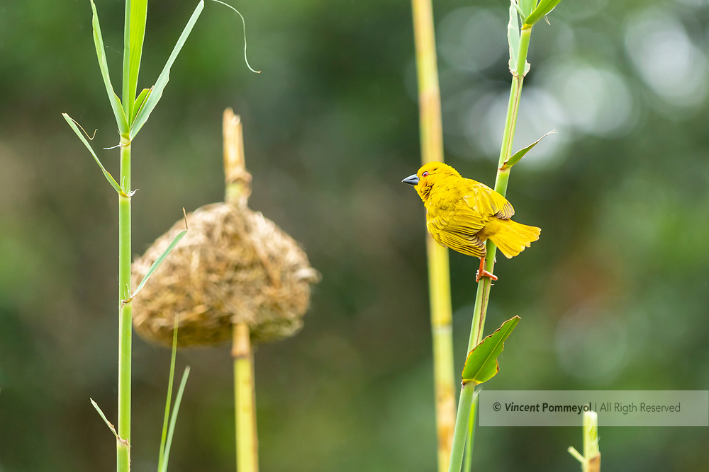 Eastern golden weaver-Tisserin jaune<br /> (Ploceus subaureus), South Africa.