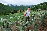 Yves Boyer, producteur d'oignons doux des Cévennes à Taleyrac, parmi ses oignons en fleurs.