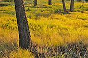 Pine trees and grasses at sunset. Redstreak Campground, Kootenay National Park, British Columbia, Canada