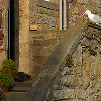Seagull observing a sleeping cat outside a stone cottage, Crail, Fife, Scotland