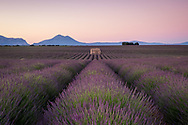 Lavender fields in Provence, France before sunrise