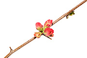 Unopened buds of Flowering Quince (Chaenomeles speciosa)