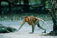 Adult male Proboscis Monkey (Nasalis larvatus) walks across a mudflat from the mangrove back to the rain forest..Bako National Park, Borneo Island.