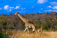 Adult and baby giraffe, Kruger National Park, South Africa