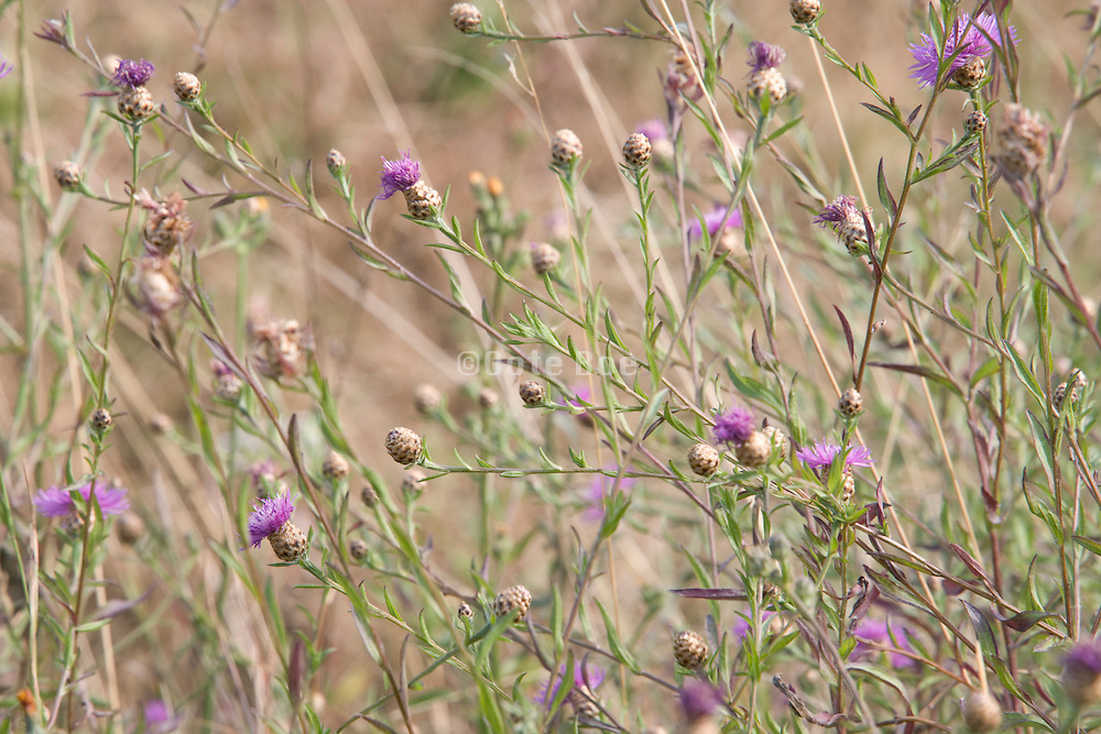 close up of purple flowers in a grassy field with various wild grasses