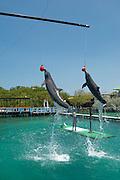 Common Bottlenose Dolphin show (Tursiops truncatus) Oceanarium, San Martin de Pajarales island, Rosario islands, Cartagena de Indias, Colombia, South America.