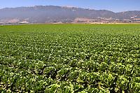 A lettuce Field, Salinas Valley, CA.