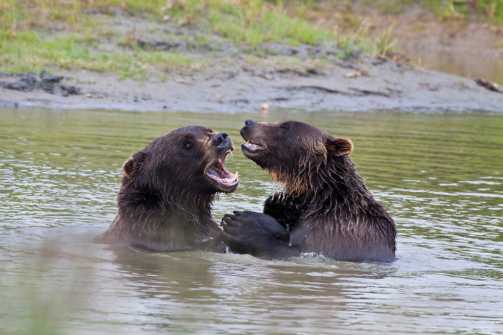 Two grizzly bears sparring in water
