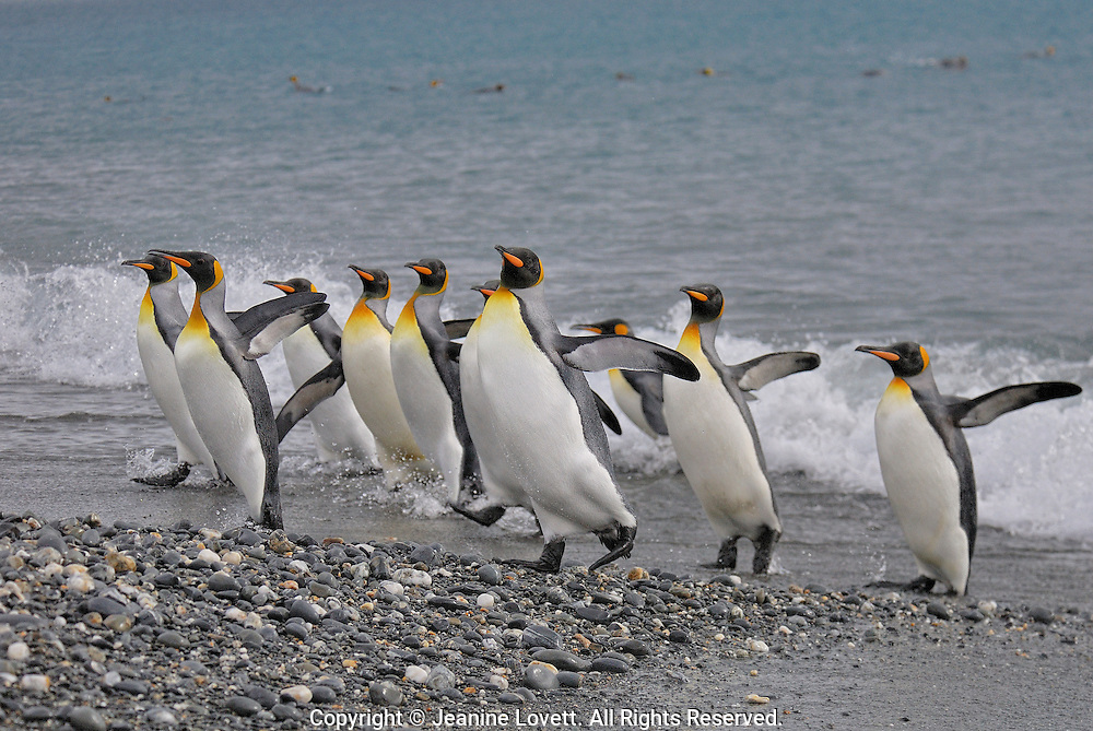 King Penguin leaving the sea and return to land throw their wing back and call for their chicks.