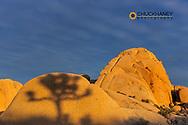 Shadow of Joshua Tree on granite boulder in sunset light in Joshua Tree National Park, California, USA