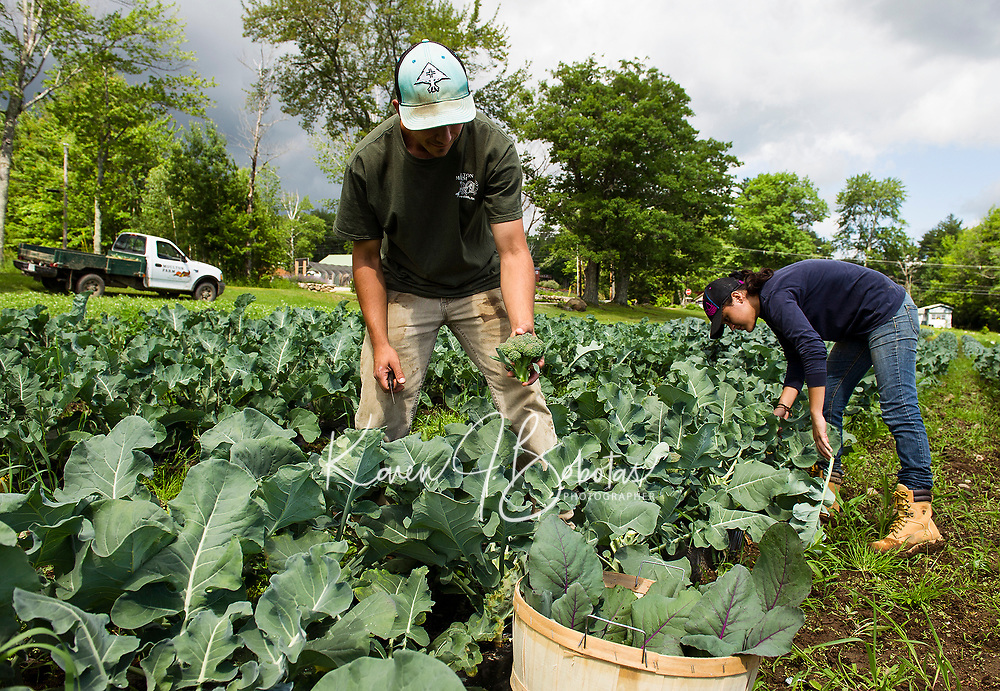Ben Kelley and Nicole Guzman picking broccoli from the fields at Moulton Farm in Meredith on Friday morning.  (Karen Bobotas/for the Laconia Daily Sun)