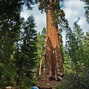 Enormous giant redwood trees are the main attraction in Grant Grove, King's Canyon national park, CA.