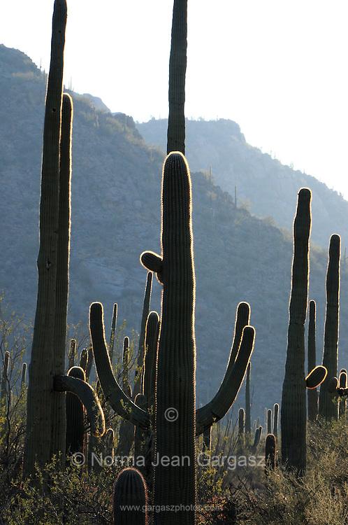 Saguaro cactus (Carnegiea gigantea) tower over the Sonoran Desert along the Bajada Loop Drive in Saguaro National Park in Tucson, Arizona, USA.