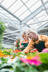 Two gardeners working in greenhouse, Augsburg, Bavaria, Germany