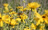 An extended colony of Gloriosa Daisies dance with the grace of butterflies in the August breeze.