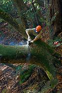 Park maintenance worker using chain saw to cut tree trunk, Pfeiffer Big Sur State Park, Big Sur, California