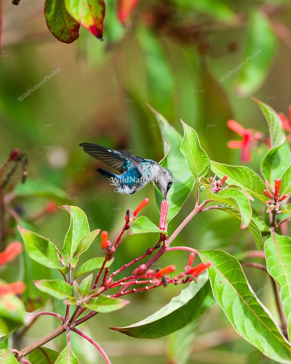 Bee Hummingbird (Mellisuga helenae), male in non-breeding plumage, in flight feeding on the red flowers of Firebush (Hamelia patens). Cuba
