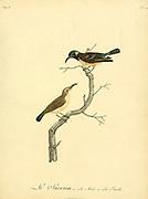 Sucrion from the Book Histoire naturelle des oiseaux d'Afrique [Natural History of birds of Africa] Volume 6, by Le Vaillant, Francois, 1753-1824; Publish in Paris by Chez J.J. Fuchs, libraire 1808